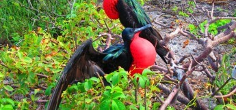 Great Frigatebirds in the Galapagos