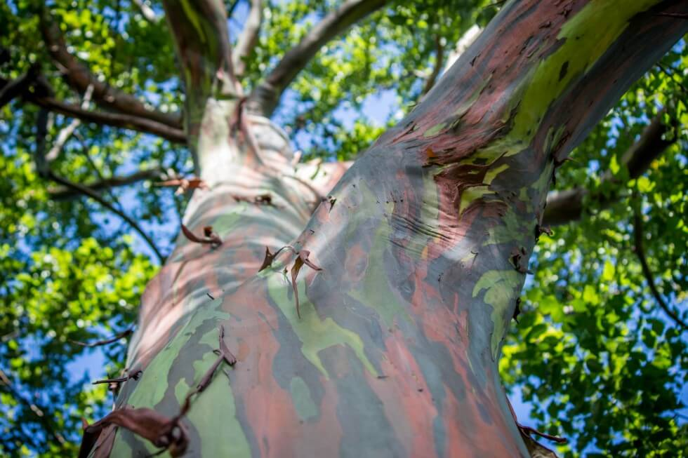 Best Maui sights the painted grove of rainbow eucalyptus trees