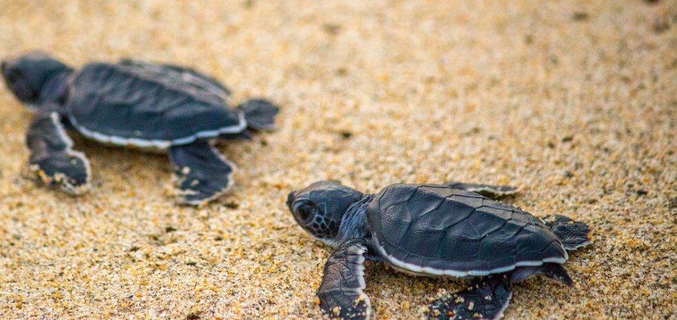 Baby Sea Turtle Release Mexico