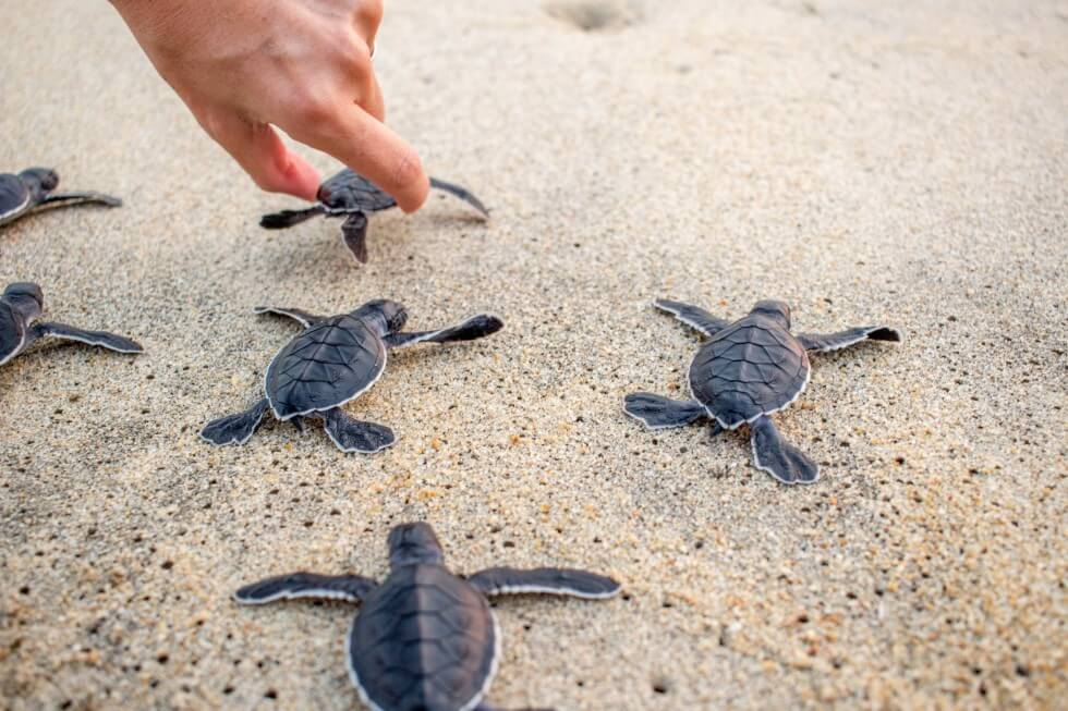 Newly Hatched Turtles on Mazunte Beach, Oaxaca