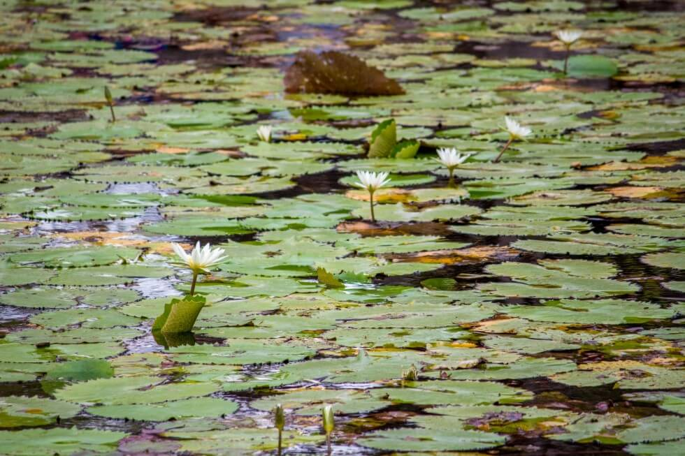 Lilies cover the surface of the Cenote Xlacah in the Dzibilchaltún ruins